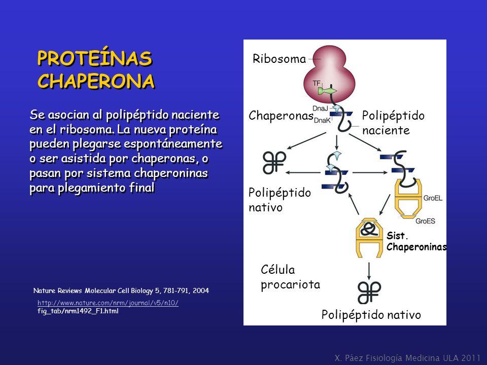 PROTEÍNAS CHAPERONA Ribosoma Se asocian al polipéptido naciente