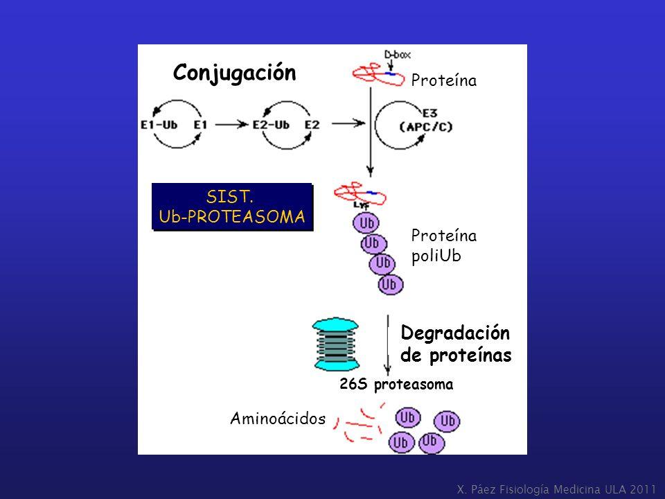 Conjugación Degradación de proteínas Proteína SIST. Ub-PROTEASOMA