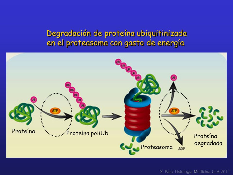 Degradación de proteína ubiquitinizada