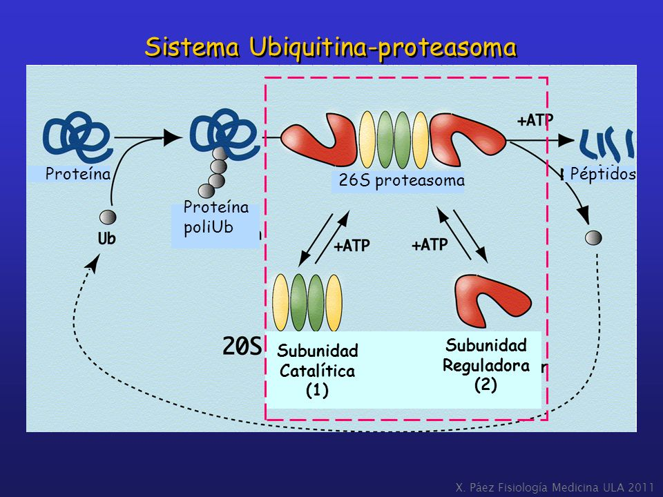 Sistema Ubiquitina-proteasoma