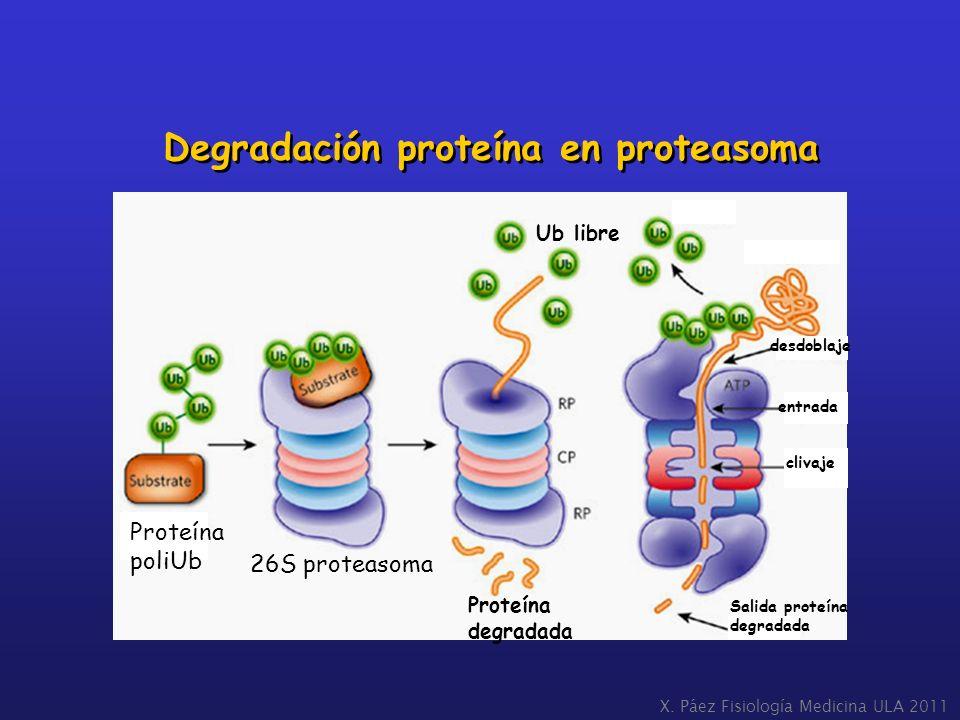Degradación proteína en proteasoma