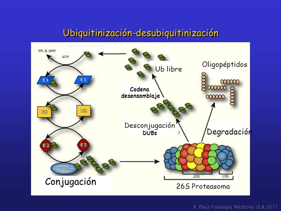Ubiquitinización-desubiquitinización