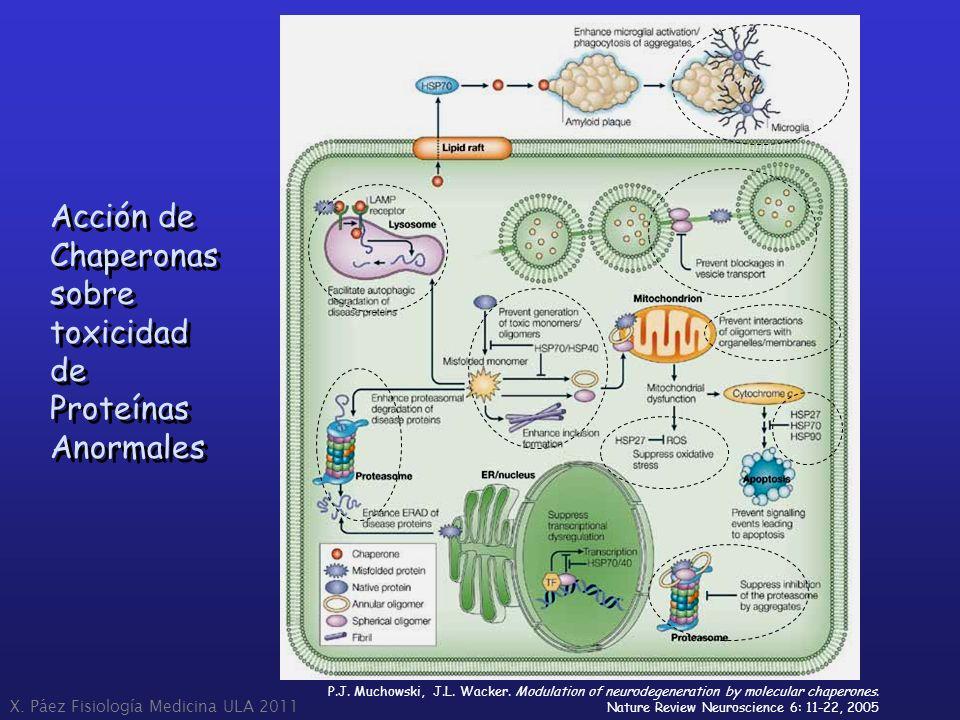 Acción de Chaperonas sobre toxicidad de Proteínas Anormales