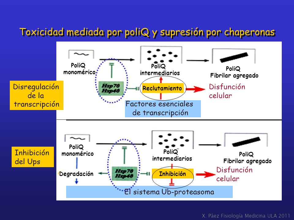 Toxicidad mediada por poliQ y supresión por chaperonas