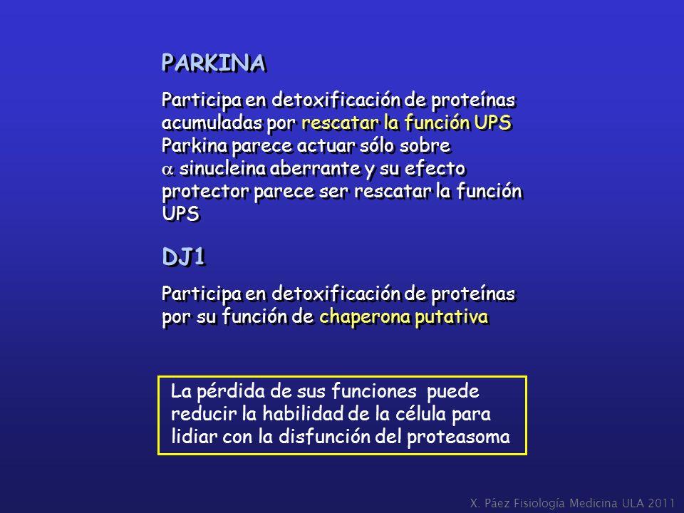 PARKINA Participa en detoxificación de proteínas acumuladas por rescatar la función UPS. Parkina parece actuar sólo sobre.