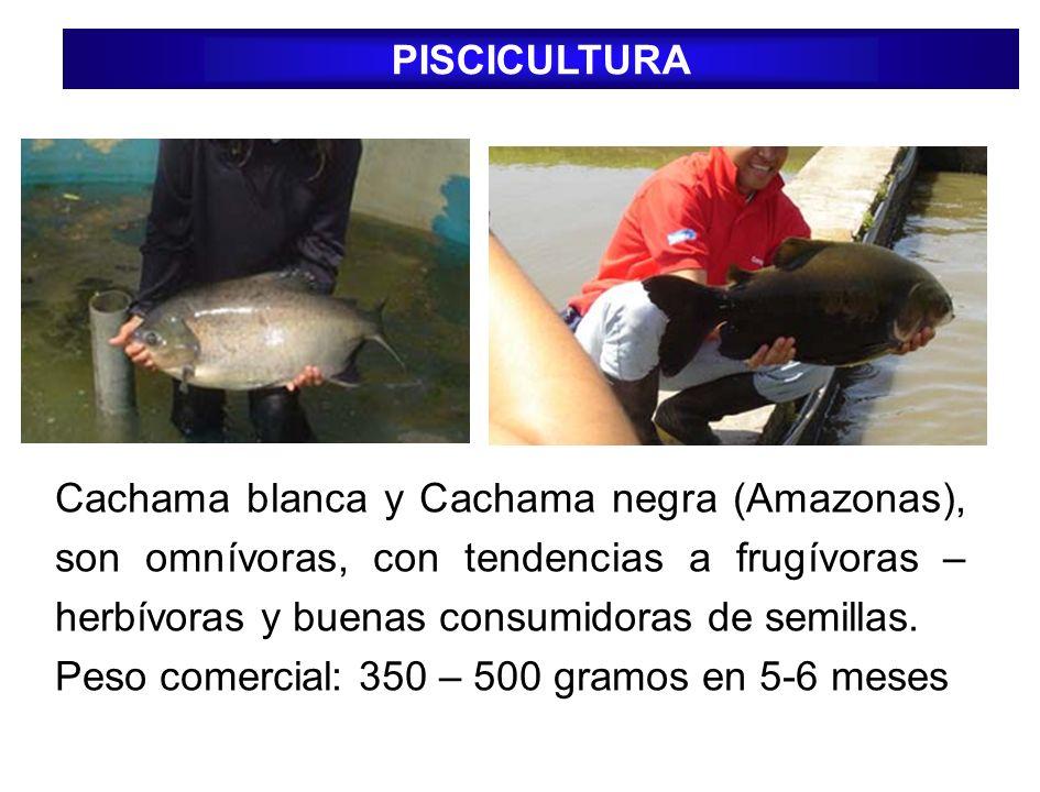 PISCICULTURA Cachama blanca y Cachama negra (Amazonas), son omnívoras, con tendencias a frugívoras – herbívoras y buenas consumidoras de semillas.