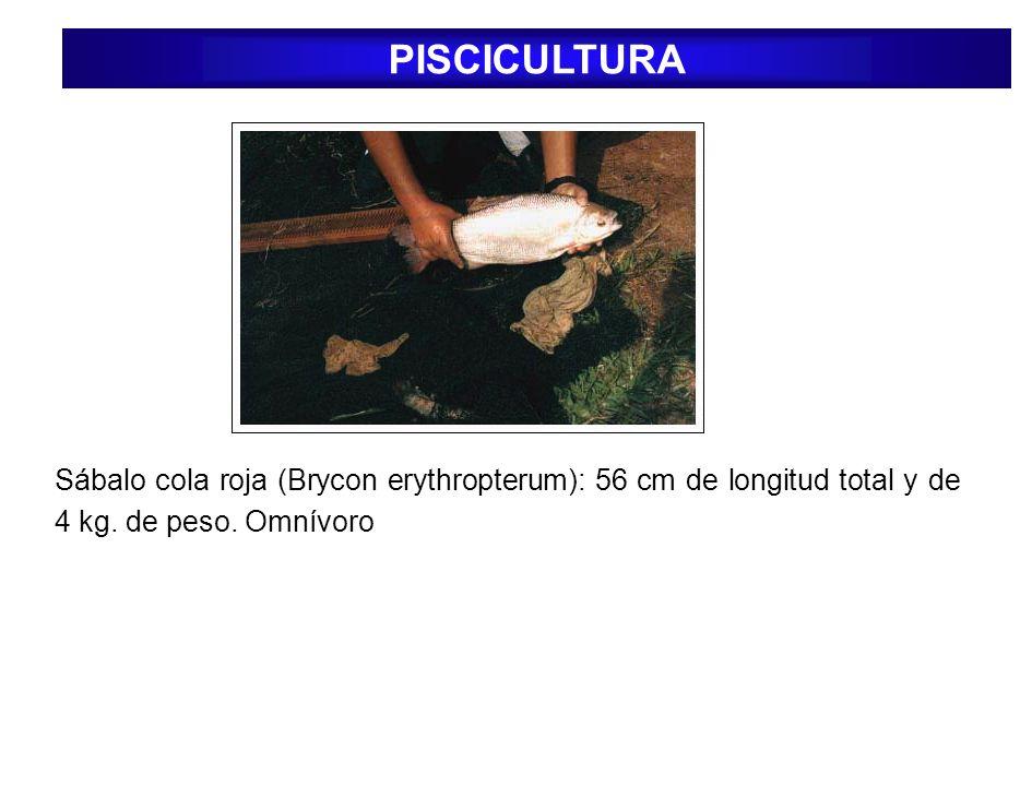 PISCICULTURA Sábalo cola roja (Brycon erythropterum): 56 cm de longitud total y de 4 kg.