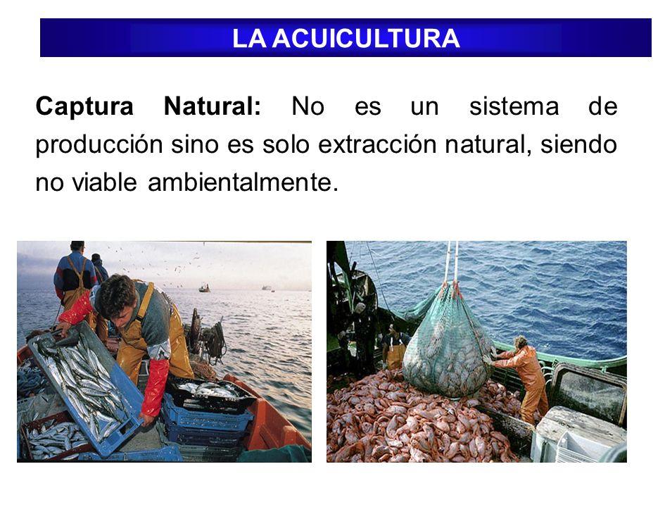 LA ACUICULTURA Captura Natural: No es un sistema de producción sino es solo extracción natural, siendo no viable ambientalmente.