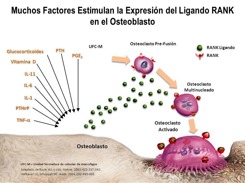 Osteoclasto Pre-Fusión Osteoclasto Multinucleado