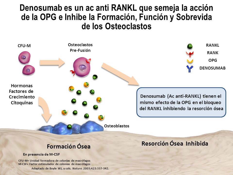 Denosumab es un ac anti RANKL que semeja la acción de la OPG e Inhibe la Formación, Función y Sobrevida de los Osteoclastos