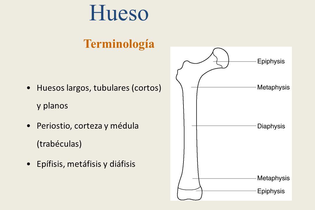 Hueso Terminología Huesos largos, tubulares (cortos) y planos