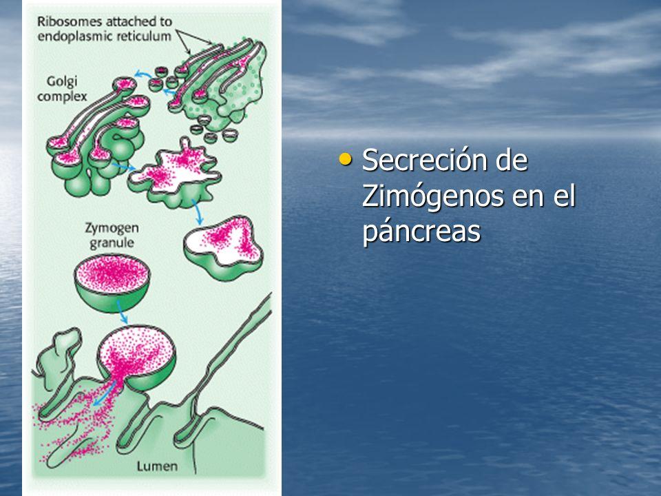 Secreción de Zimógenos en el páncreas