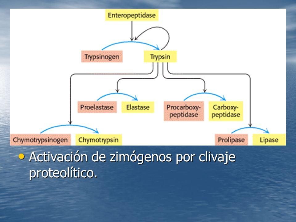 Activación de zimógenos por clivaje proteolítico.