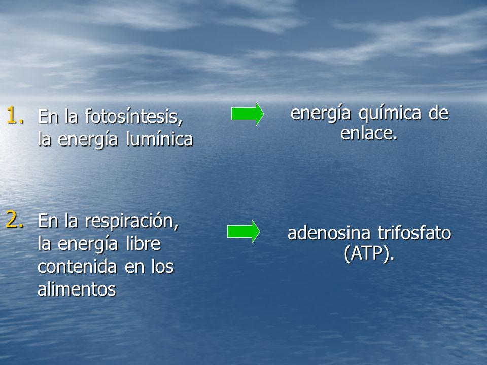 En la fotosíntesis, la energía lumínica