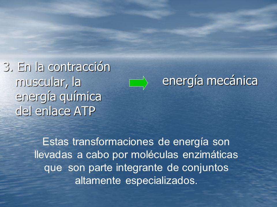 3. En la contracción muscular, la energía química del enlace ATP