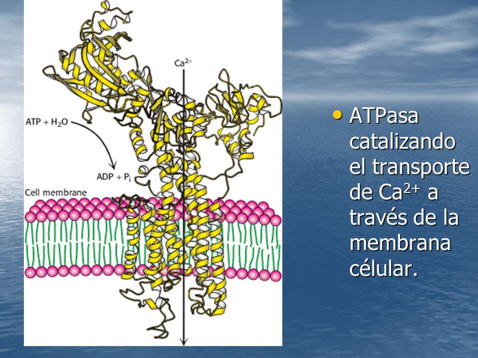 ATPasa catalizando el transporte de Ca2+ a través de la membrana célular.