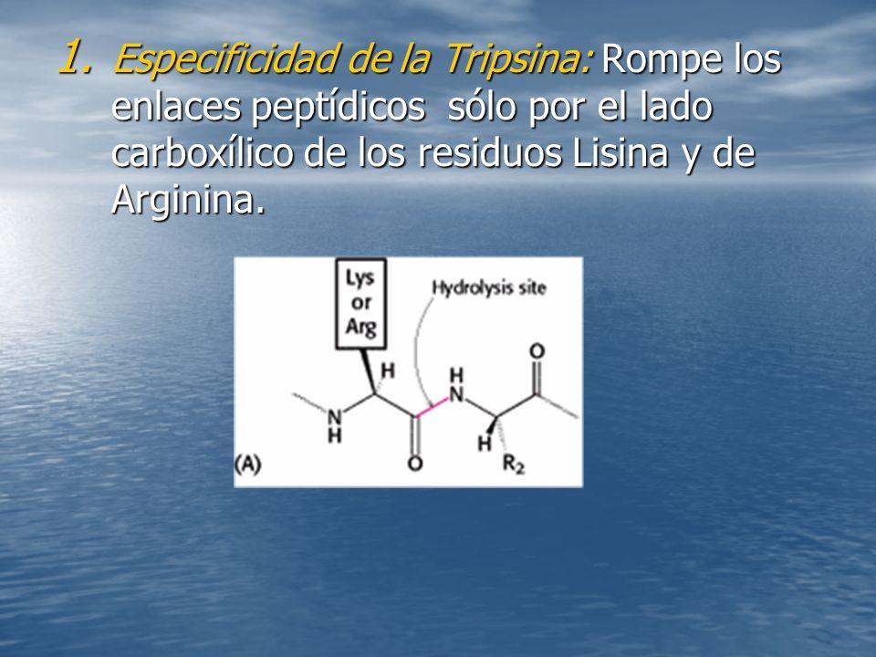 Especificidad de la Tripsina: Rompe los enlaces peptídicos sólo por el lado carboxílico de los residuos Lisina y de Arginina.