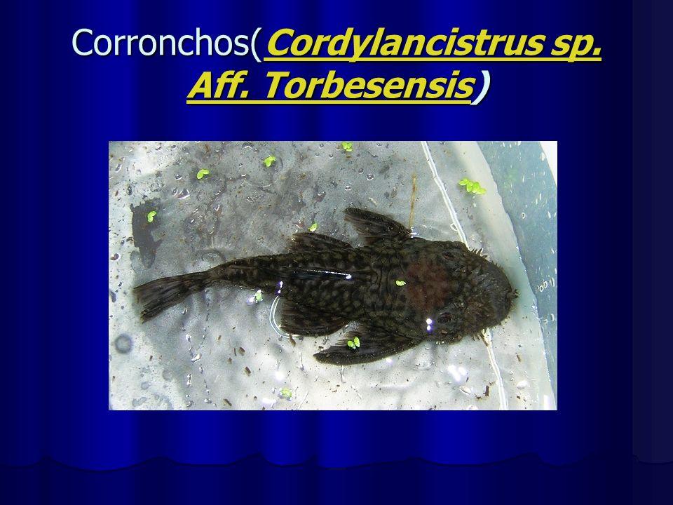 Corronchos(Cordylancistrus sp. Aff. Torbesensis)