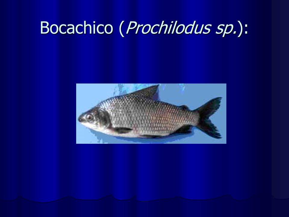 Bocachico (Prochilodus sp.):