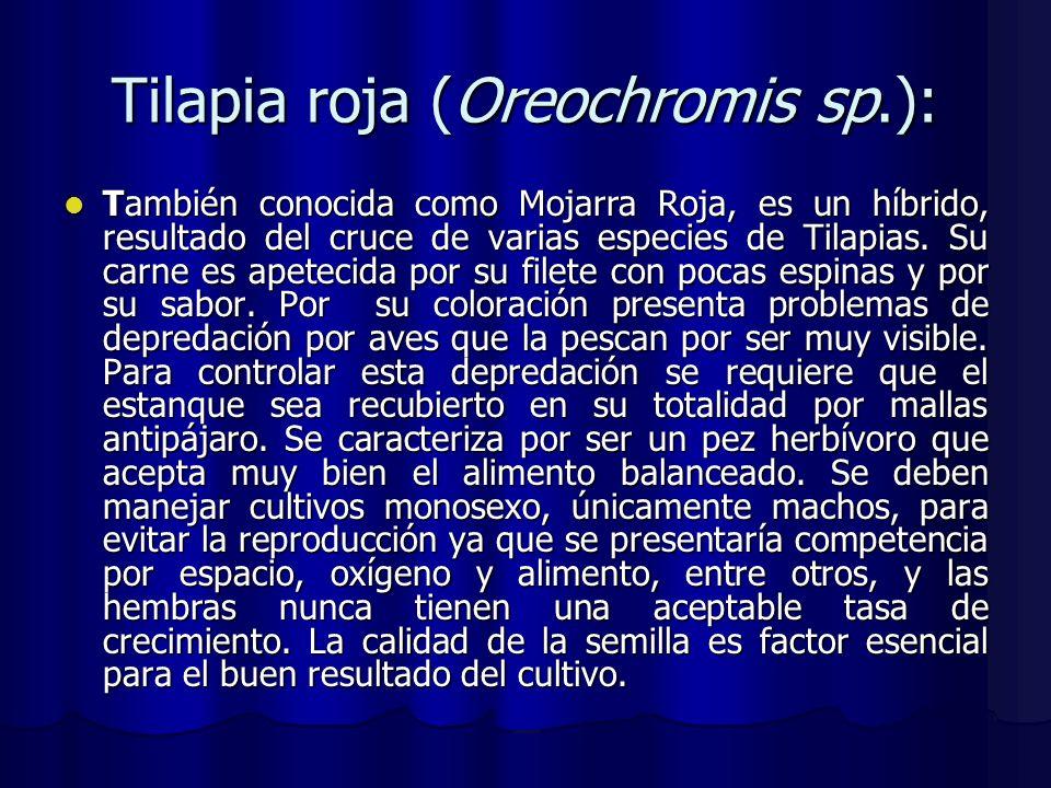 Tilapia roja (Oreochromis sp.):