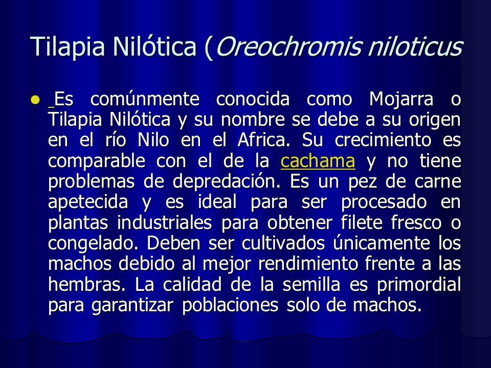 Tilapia Nilótica (Oreochromis niloticus