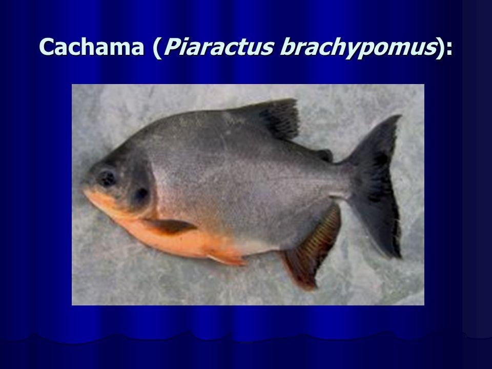 Caracter sticas de los peces ppt video online descargar for Pez cachama