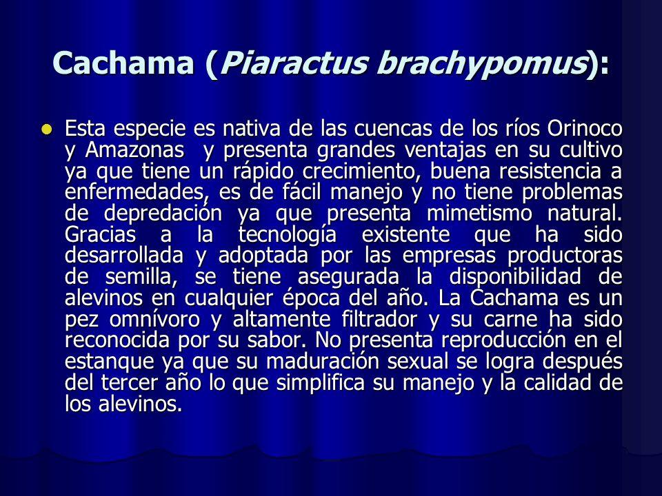 Cachama (Piaractus brachypomus):