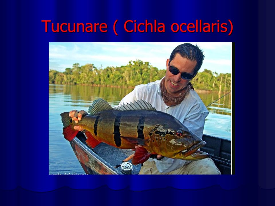 Tucunare ( Cichla ocellaris)