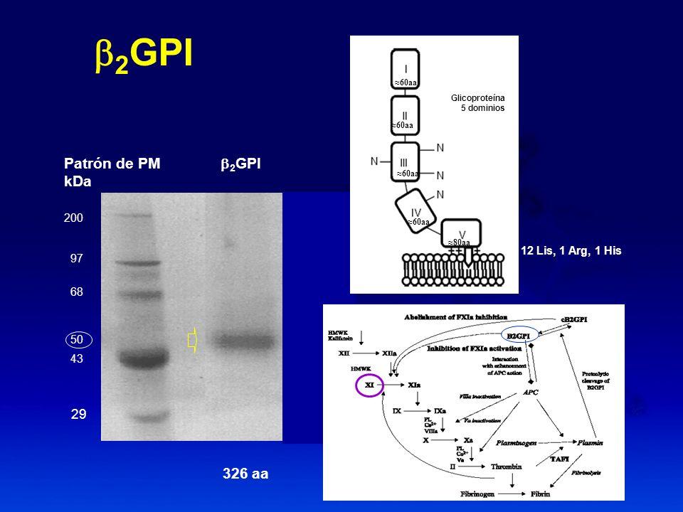 b2GPI Patrón de PM b2GPI kDa 326 aa 29 200 97 12 Lis, 1 Arg, 1 His 68