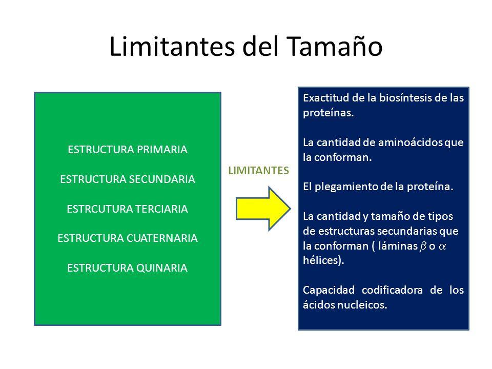 Limitantes del Tamaño Exactitud de la biosíntesis de las proteínas.