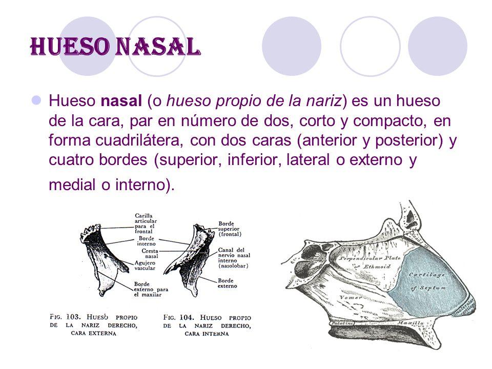Encantador Anatomía Del Hueso Nasal Patrón - Imágenes de Anatomía ...