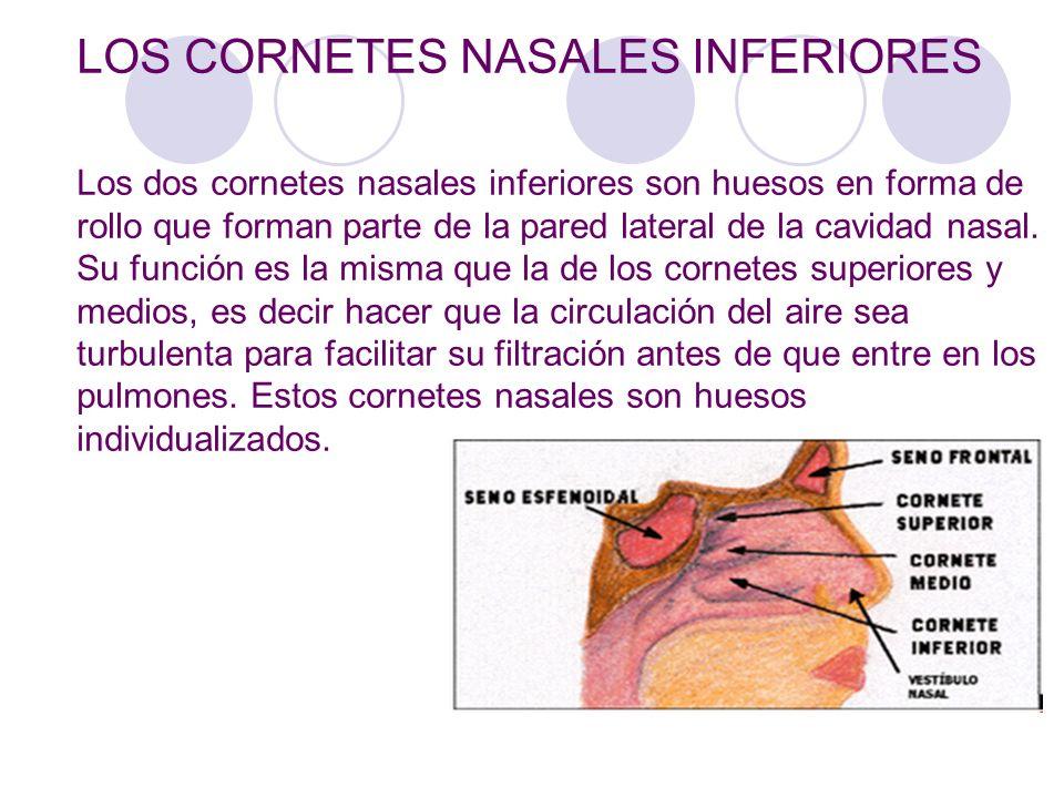 Hermosa Anatomía De Los Cornetes Nasales Colección - Anatomía de Las ...