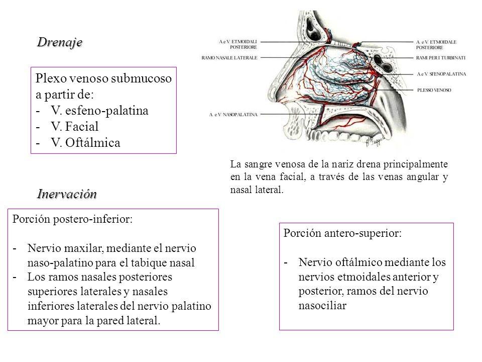 Cavidad nasal priscilla sep lveda nariz ppt video online for Pared lateral de la cavidad nasal