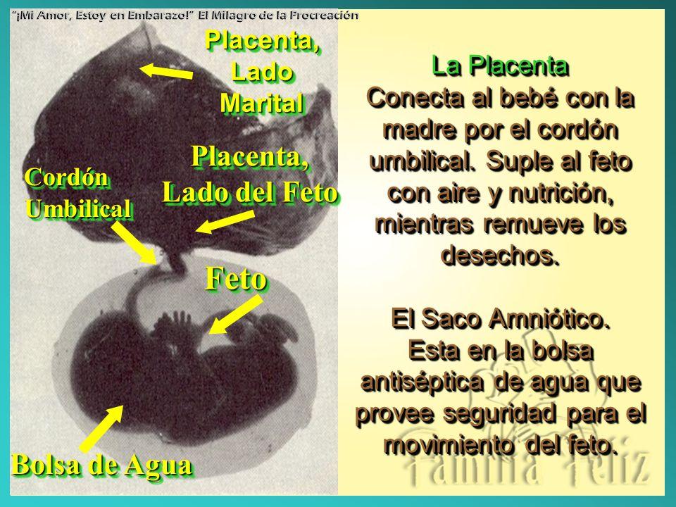 Feto Placenta, Lado del Feto Bolsa de Agua Placenta,