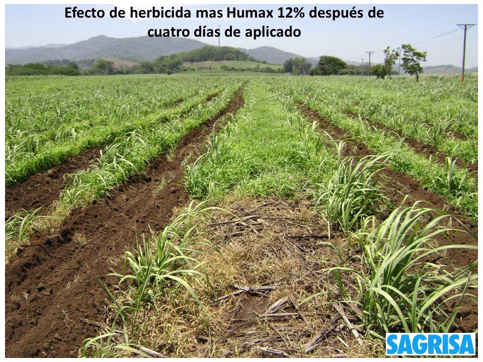 Efecto de herbicida mas Humax 12% después de cuatro días de aplicado