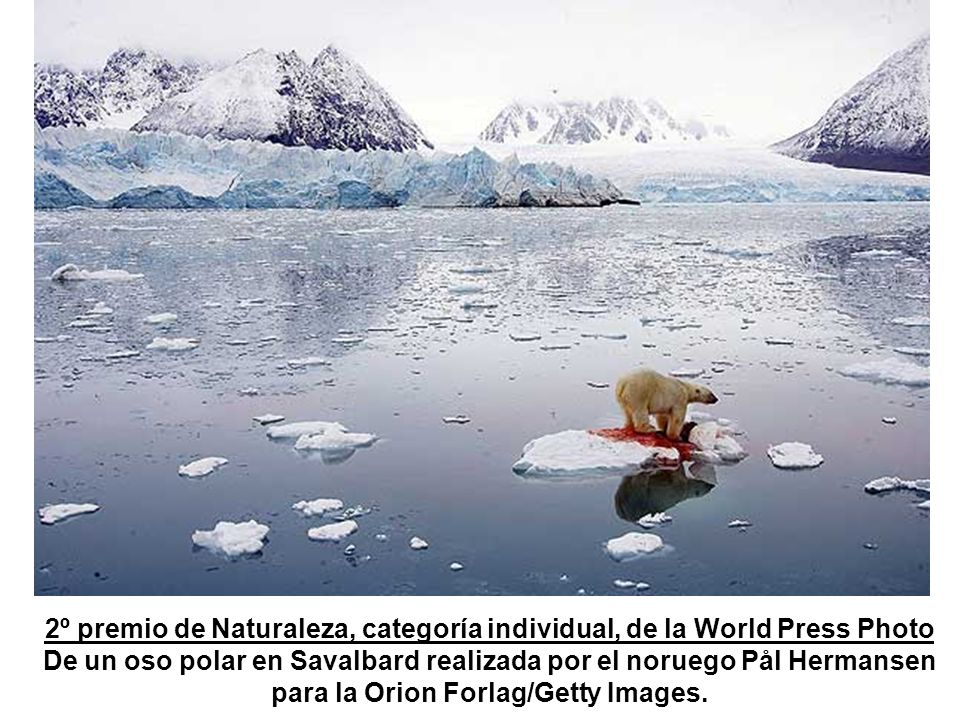 2º premio de Naturaleza, categoría individual, de la World Press Photo De un oso polar en Savalbard realizada por el noruego Pål Hermansen para la Orion Forlag/Getty Images.