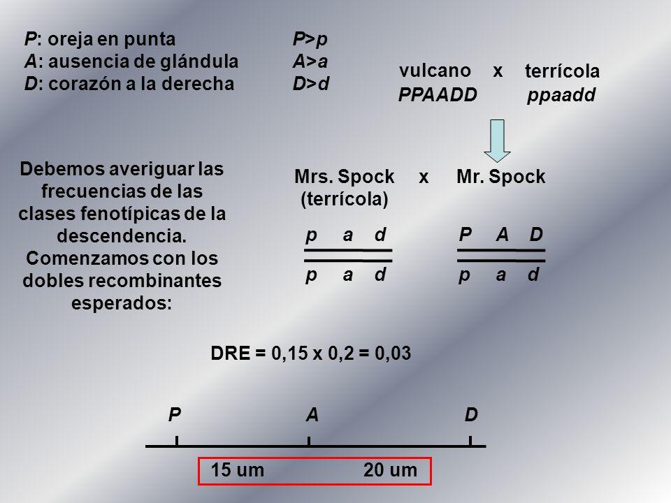 P: oreja en punta P>p