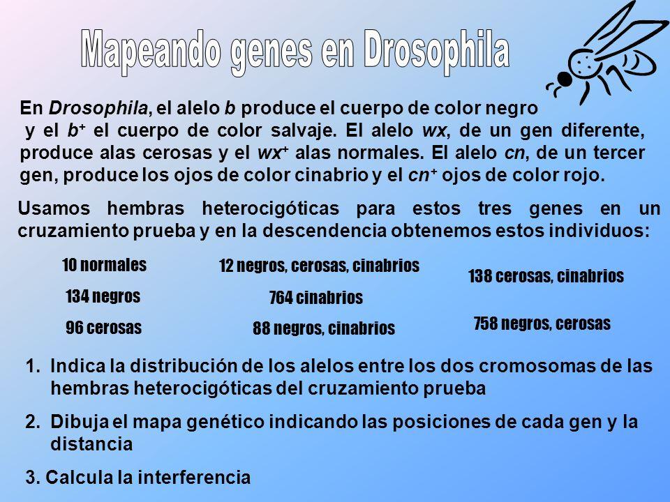 Mapeando genes en Drosophila