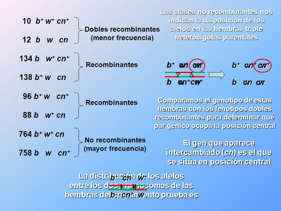 La distribución de los alelos entre los dos cromosomas de las