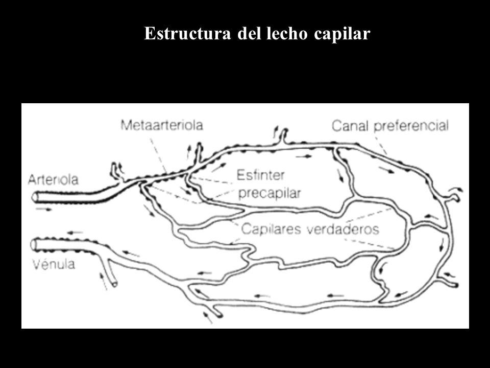 Estructura del lecho capilar