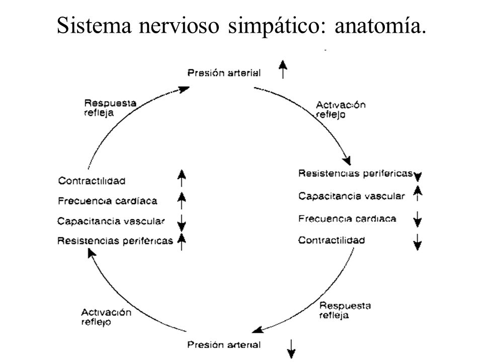 Sistema nervioso simpático: anatomía.