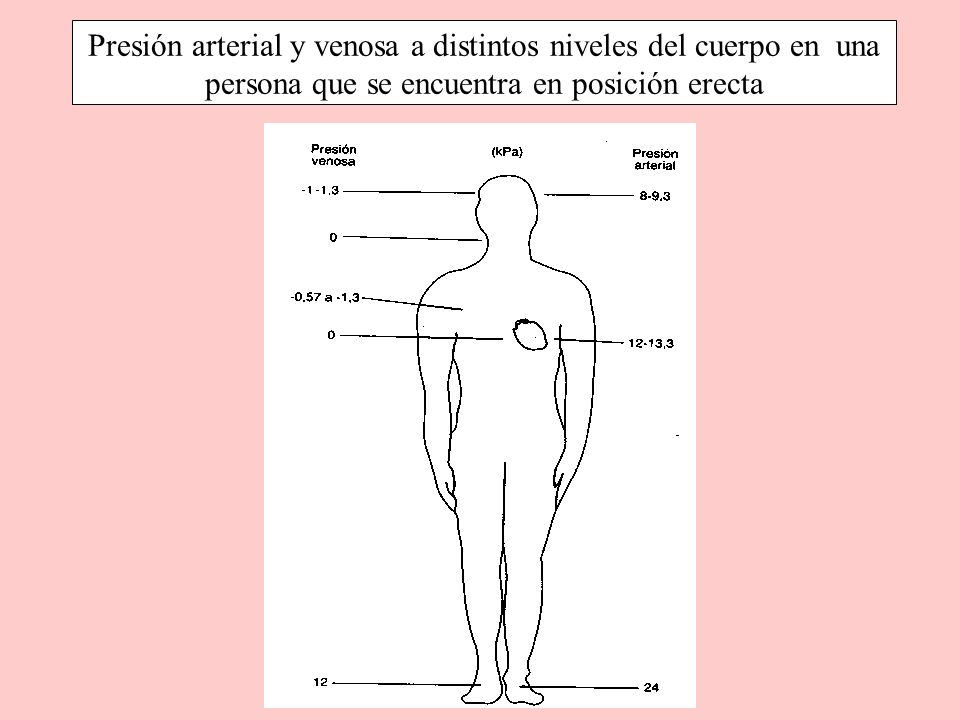 Presión arterial y venosa a distintos niveles del cuerpo en una persona que se encuentra en posición erecta