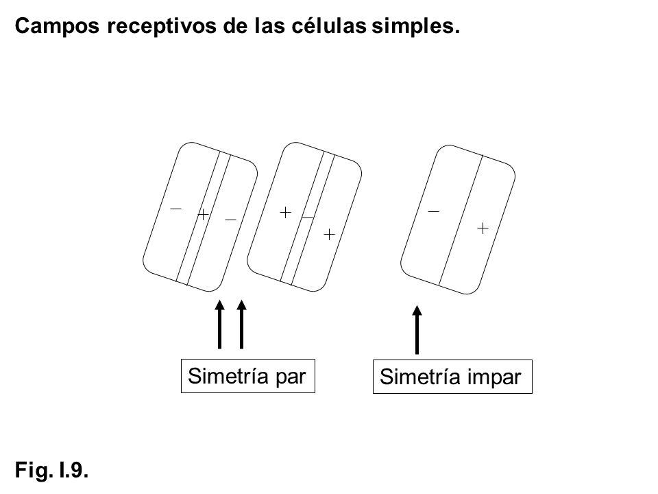 Campos receptivos de las células simples.