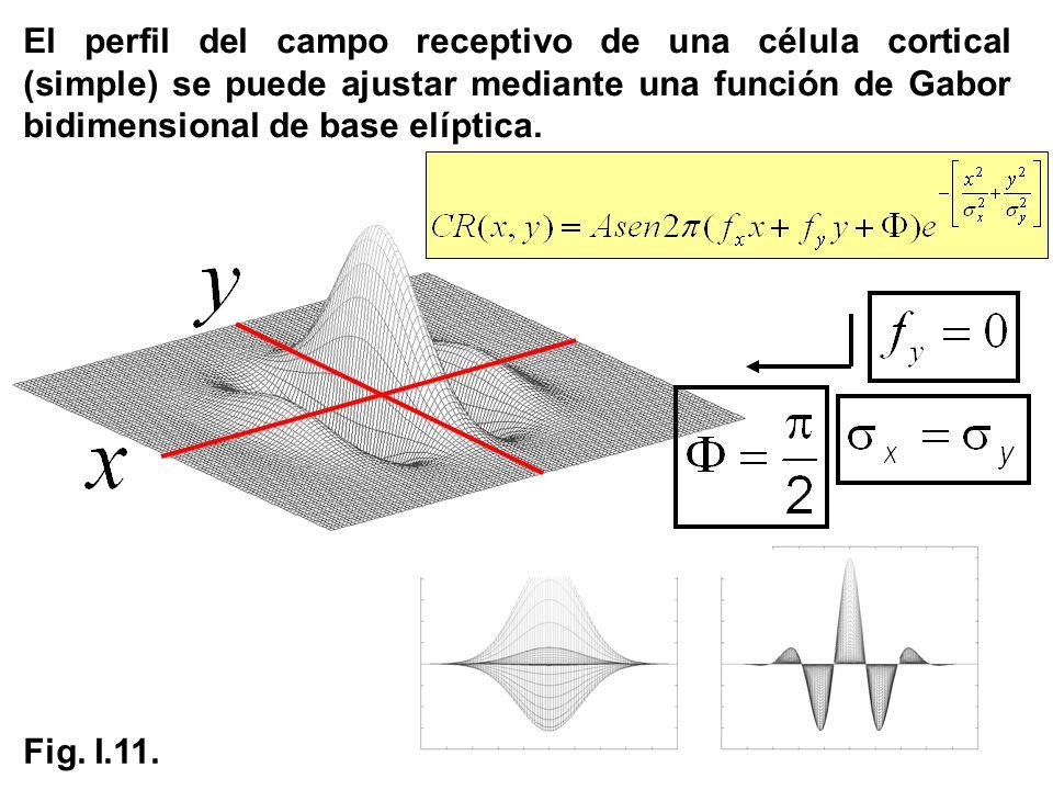 El perfil del campo receptivo de una célula cortical (simple) se puede ajustar mediante una función de Gabor bidimensional de base elíptica.