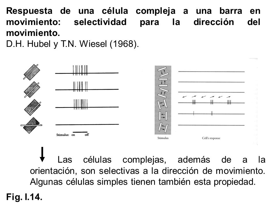 Respuesta de una célula compleja a una barra en movimiento: selectividad para la dirección del movimiento.