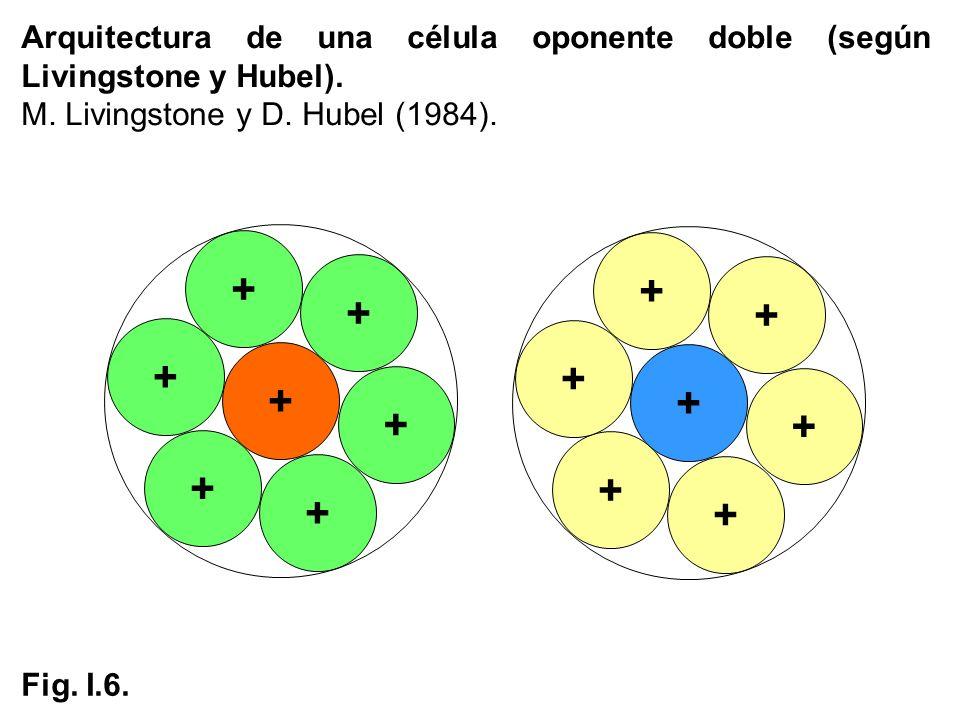 Arquitectura de una célula oponente doble (según Livingstone y Hubel).