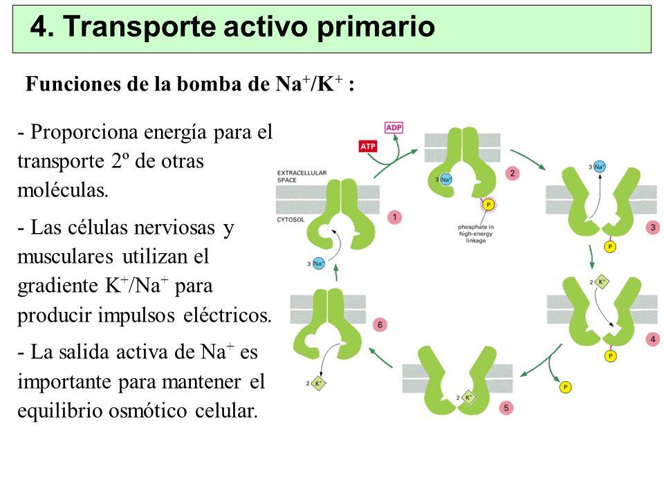 4. Transporte activo primario