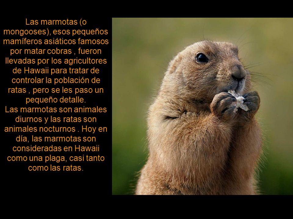 Las marmotas (o mongooses), esos pequeños mamíferos asiáticos famosos por matar cobras , fueron llevadas por los agricultores de Hawaii para tratar de controlar la población de ratas , pero se les paso un pequeño detalle.