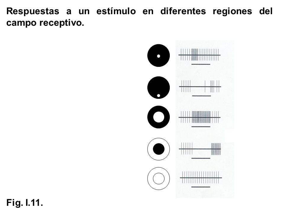 Respuestas a un estímulo en diferentes regiones del campo receptivo.