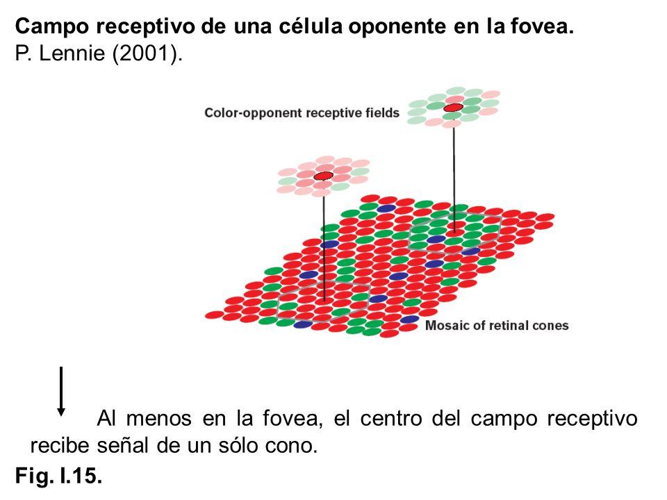 Campo receptivo de una célula oponente en la fovea.